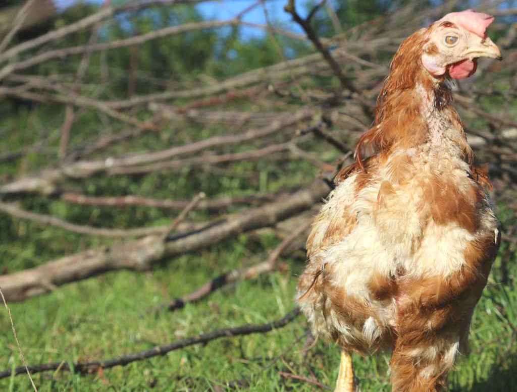 Tierpatenschaft für Henne Aschenbrödel übernehmen
