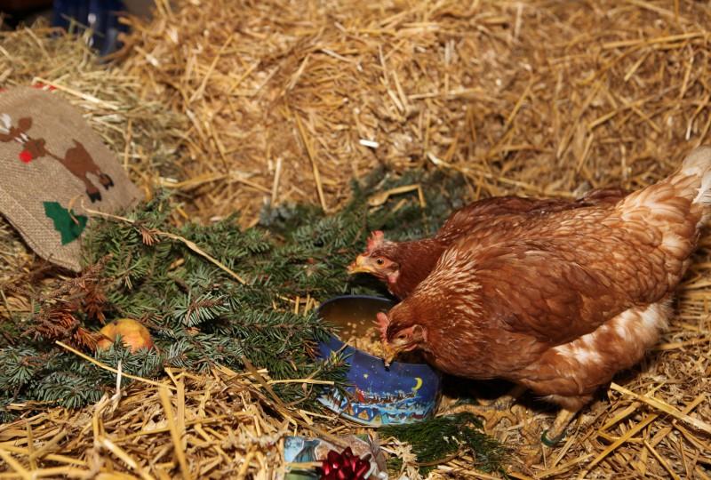 Die Hühner werden hier richtig verwöhnt!