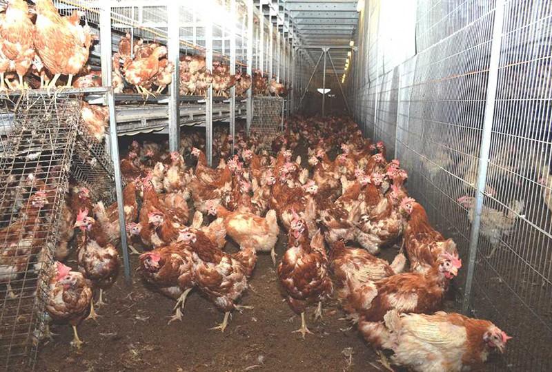 Rapunzel: eine von 150000 Hühnern!
