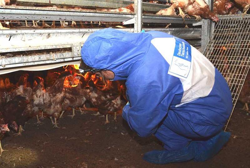 Hühnerbefreiungsaktion des Tierschutzbüros