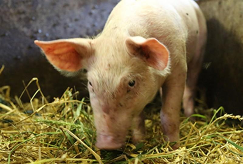 Früher wurde Laura von den anderen Schweinen vestoßen