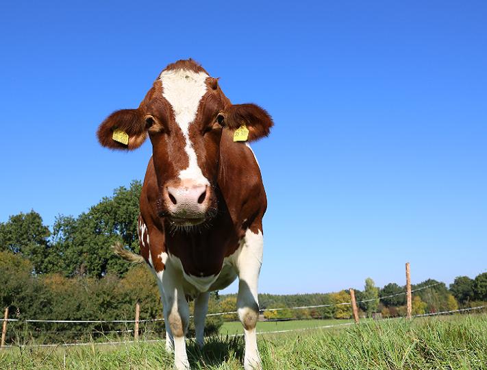 Tierpatenschaft für Kuh Denise übernehmen
