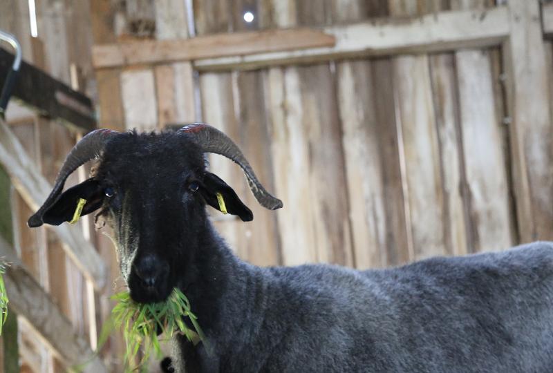 Als Wiederkäuer liebt Ilse frisches Gras.