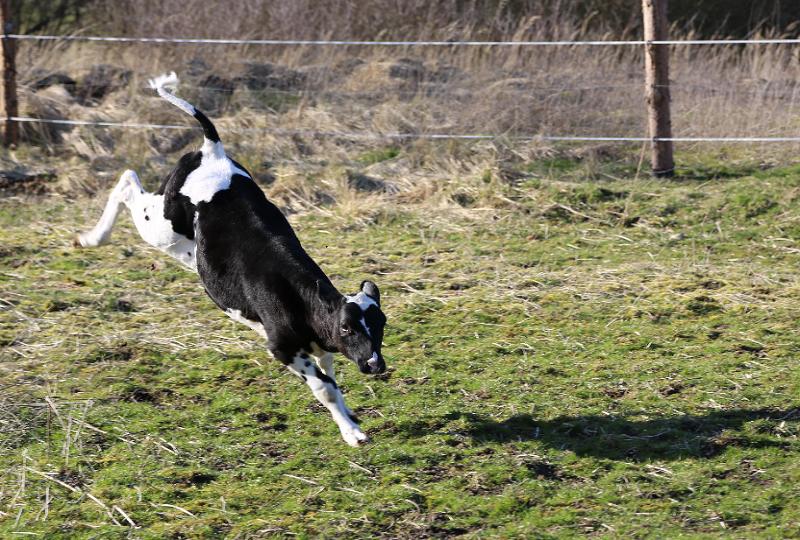 Das freie Leben macht Zwergi richtig Spaß und sie genießt das Toben auf der Weide.