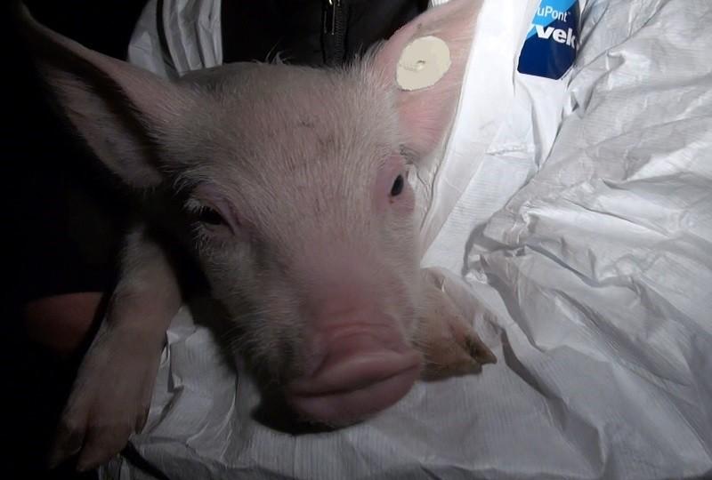 Sally bei ihrer Rettung aus der Schweinezuchtanlage.