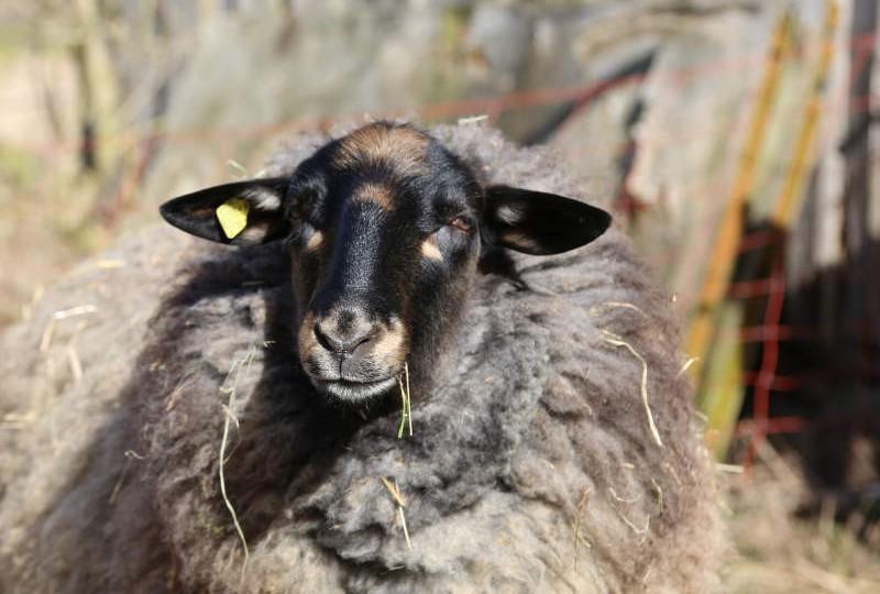 Schaf Bruno mit stattlicher Wolle.