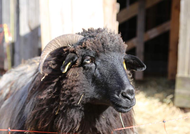 Schaf Ilse vor der Schlachtung gerettet