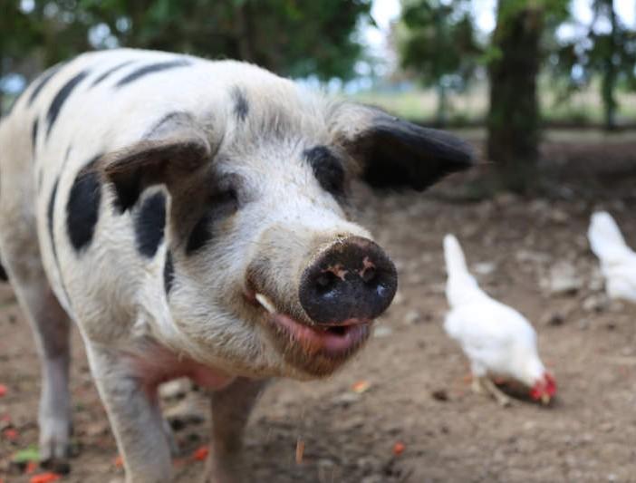Schwein Jan