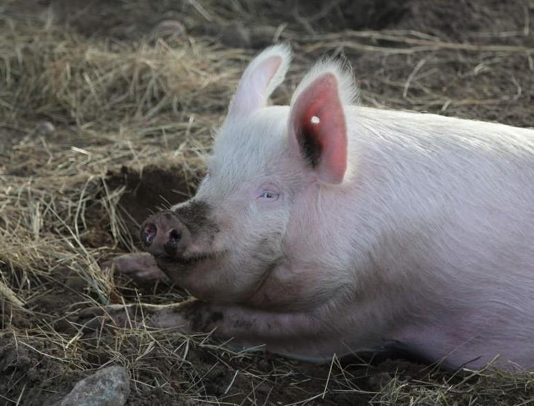 Schwein Lilly genießt ihr Leben in artgerechter Freiheit