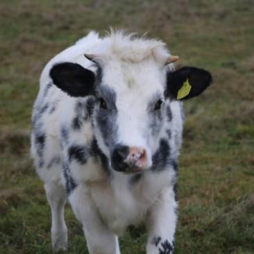Glückskälbchen Marla auf der Weide