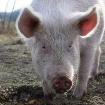 Schwein Sally genießt ihr Leben in artgerechter Freiheit