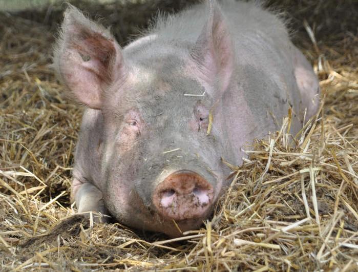 Schwein Stefan liegt artgerecht im Stroh und entspannt