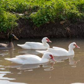 Wie sich unsere Enten entwickelt haben!