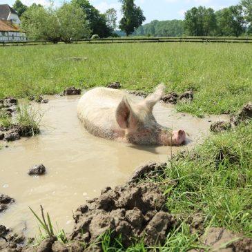 Wenn unsere Schweine die Badesaison einläuten!
