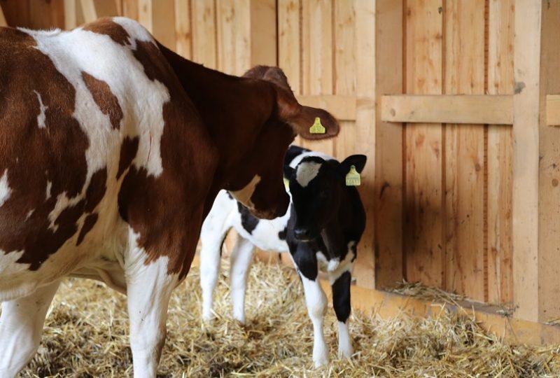 Erstes Kennenlernen mit Kuh Denise