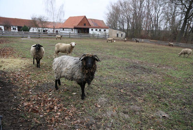 Ilse und ihrer Herde