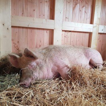 Ein sau-cooles Haus für unsere Schweine!